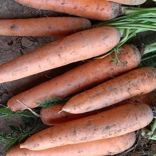河北省保定市清苑区三红胡萝卜 河北保定大量红萝卜上市有需要的联系我!!!质量杠杠的。