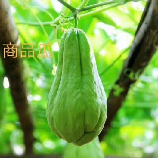 贵州省黔南布依族苗族自治州惠水县 佛手瓜精品一件代发五斤包邮