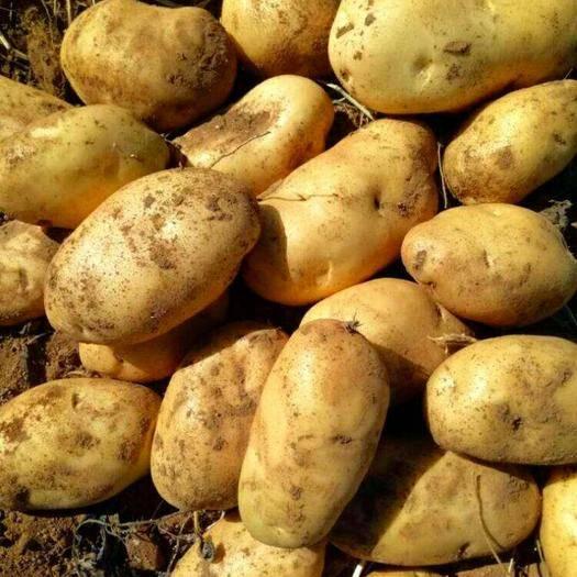 """内蒙古自治区乌兰察布市四子王旗 """"226""""土豆,绿色原生态,沙质土壤种植,外形好,口感佳!"""