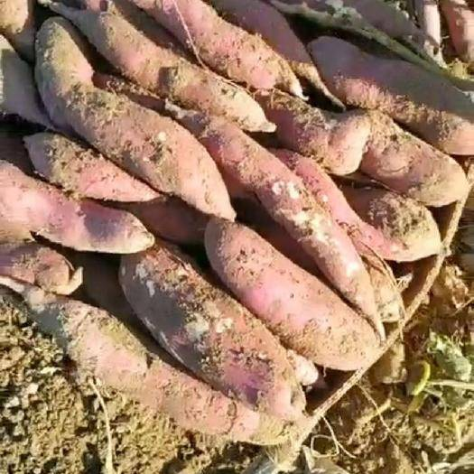 辽宁省盘锦市盘山县沙地红薯 出售地瓜
