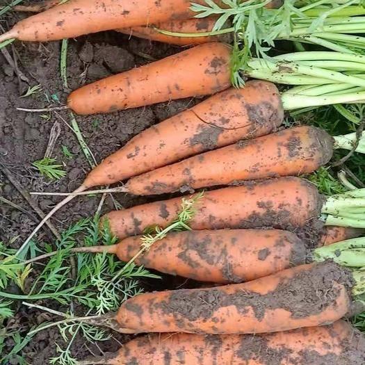 河北省保定市清苑区 大量出售胡萝卜
