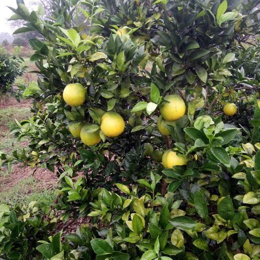 广西壮族自治区桂林市全州县纽荷尔脐橙 纽荷尔,精品。果头中偏大  基本无病果  太阳果。