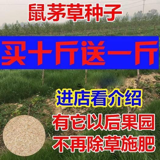 宿迁沭阳县 鼠茅草种子美国鼠茅狐茅种子草坪种子果园绿肥草种多年生进口草籽