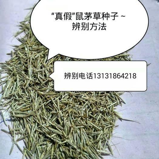 """衡水冀州区 """"真假""""鼠茅草种子,怎样辨别?鼠茅草,鼠茅草种子"""