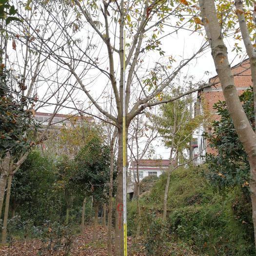 漢中 陜西省七葉樹20--22公分