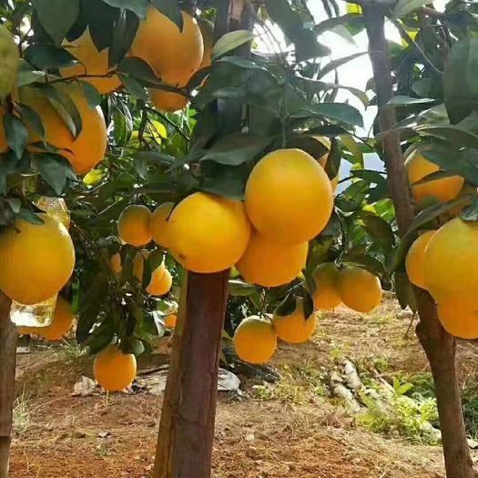 江西省赣州市寻乌县纽荷尔脐橙 绿色水果(脐橙)