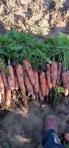 陕西省榆林市定边县三红胡萝卜
