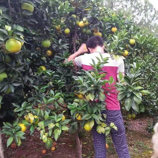 江西省赣州市信丰县 自家果园,赣南脐橙,预计7000斤左右的果
