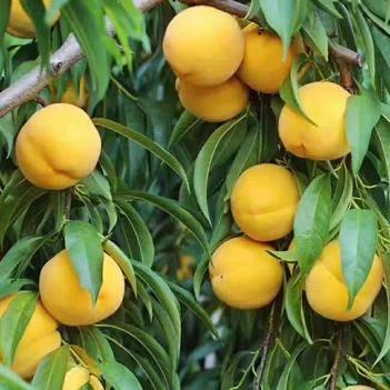 黄桃树苗 黄金蜜桃,24小时发货,现挖现发,品种齐全.没有中间商