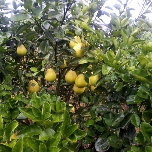 江西省吉安市安福县 自家果园全有机肥种植,质量保证,口感好正宗井冈蜜柚欢迎品尝。