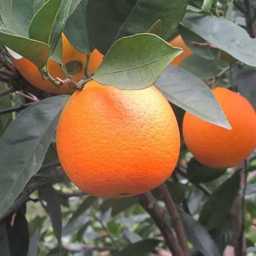 重庆市巫山县纽荷尔脐橙 80-85mm 4-8两