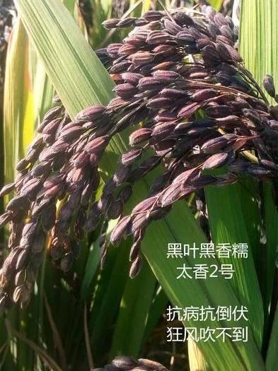 徐州云龙区太湖糯米种子 泰国黑米良种原种高产稻种子