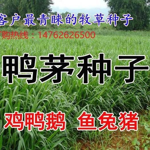 沭阳县鸭茅种子 多年生牧草种子 鸭茅草种子 鸡脚草 果林草 果园草果树草种子