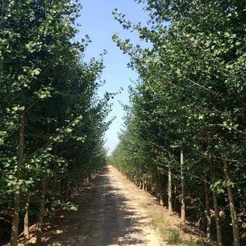 银杏实生苗 15公分银杏树价格,苗圃批发