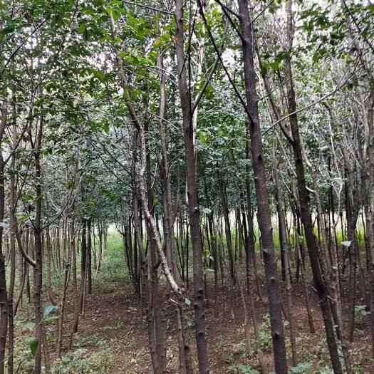 宜良縣 球花石楠米徑3公分以上袋苗地苗都有,有五萬棵以上需要的趕緊