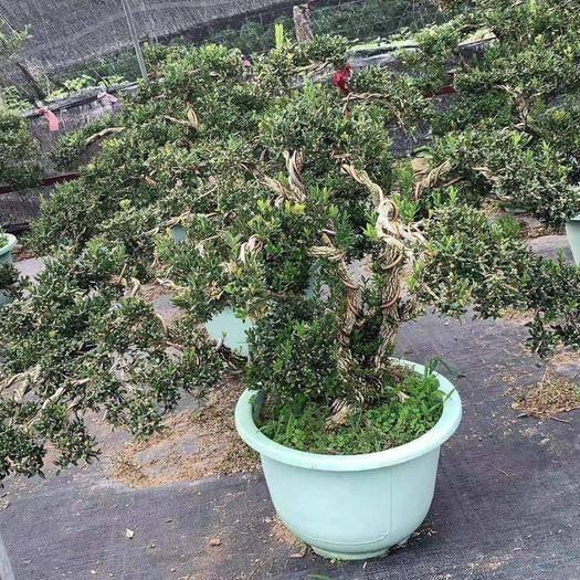 漳州龍海市造型黃楊 黃楊樹老樁盆景,基地發貨,減少中間商。