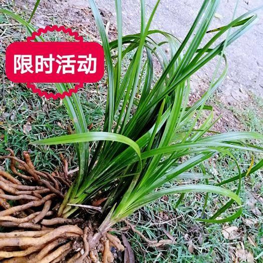 隨州隨縣蕙蘭 下山惠蘭包成活苗型好健壯連株苗葉長30至80厘米任選