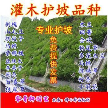 国槐种子专业护坡种子新种子包邮