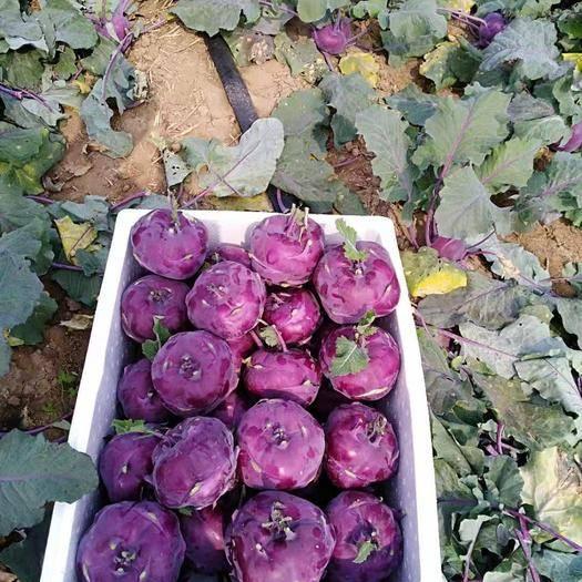濰坊壽光市 紫色水果苤藍