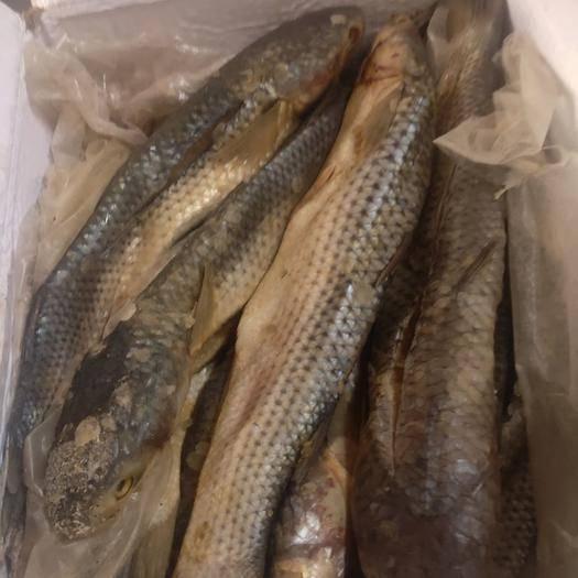 滨州沾化区 大梭鱼