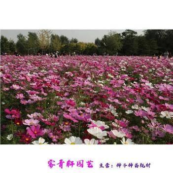 波斯菊种子 矮杆波斯菊格桑花各种花卉种子当年新种子包邮