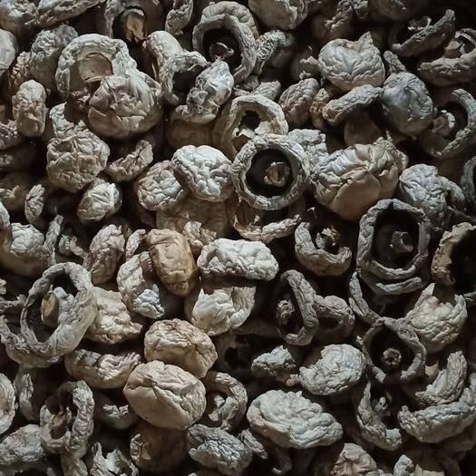 河南省濮阳市范县双孢菇 2cm~4cm 未开伞 薄盖菇