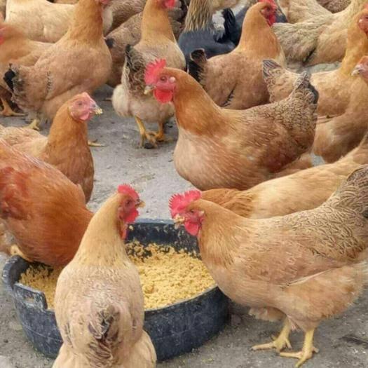南寧西鄉塘區 K9土雞苗土雞批發,各種雞苗出售,,苗正,技術指導