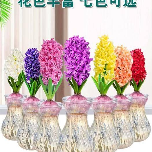 郑州二七区 风信子种球7种颜色包邮