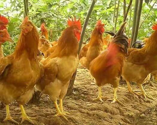 南寧西鄉塘區 三黃雞長期批發,還有各種雞苗批發