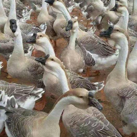 南寧西鄉塘區獅頭鵝苗 黑腳獅頭鵝是大種鵝,生長周期短,80天出欄,成年鵝18斤