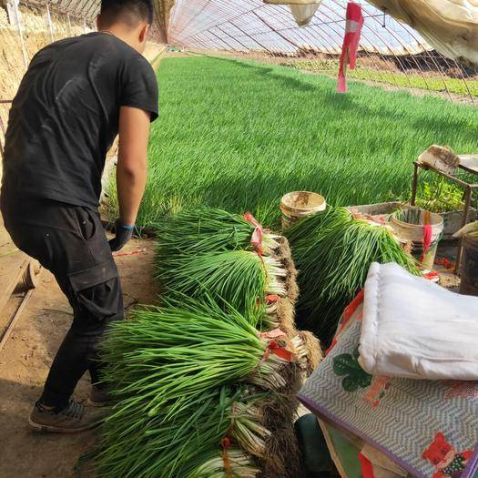 辽宁省沈阳市新民市 香葱种植基地。货源充足