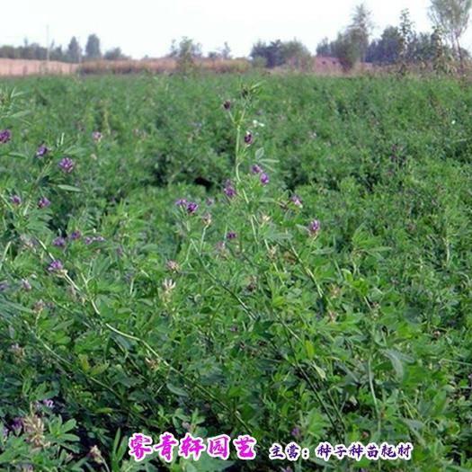 郑州二七区苜蓿草种子 现货紫花苜蓿种子新种子包邮