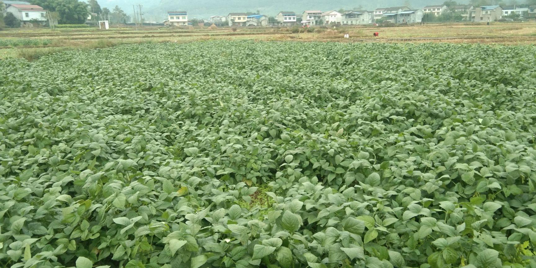 大青豆 基地直供綠寶石青豆
