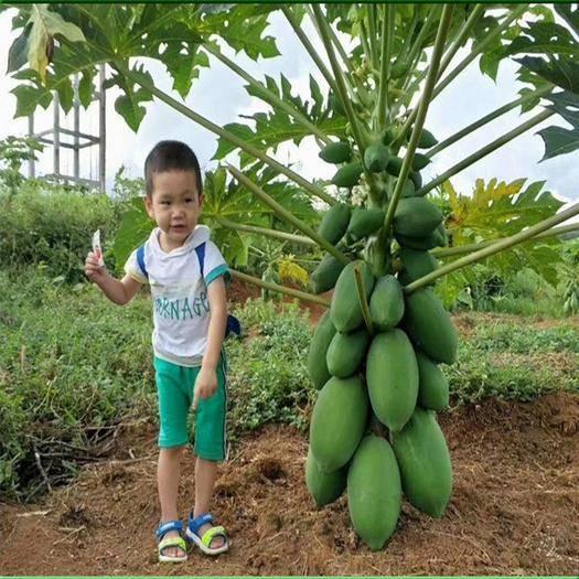 邵阳邵东县 100粒/包水果木瓜种子矮化大果红妃木瓜籽木瓜苗高产水果