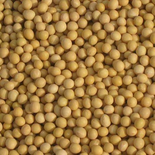 黑龙江省哈尔滨市五常市黄豆芽 东北黑土地出品种植高品质,小粒芽豆,其特点出芽率高。