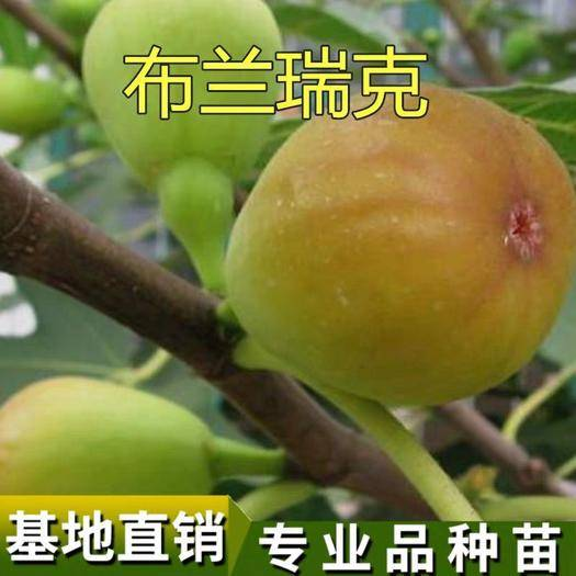 临沂平邑县布兰瑞克苗 带果发货 量多优惠 现挖苗 根须发达 成活率高