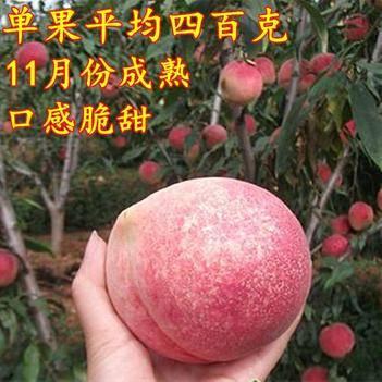 冬桃苗 正宗巨型冬桃 晚熟优质苗 包成活包品种