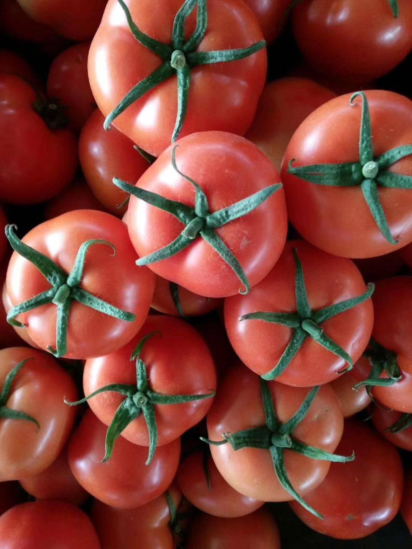 山東莘縣西紅柿大量上市啦!需要的聯系。