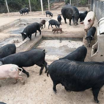 土猪肉 黑土猪