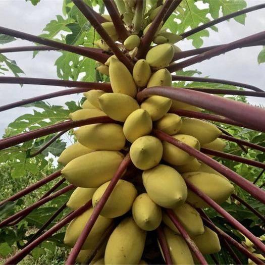 邵阳邵东县 100粒/包奶油木瓜种子超甜水果木瓜基地用种