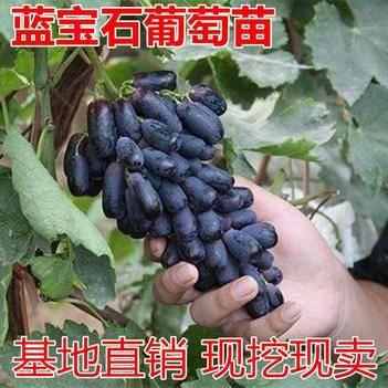 甜蜜蓝宝石葡萄苗葡萄树苗包邮当年结果南方北方种植