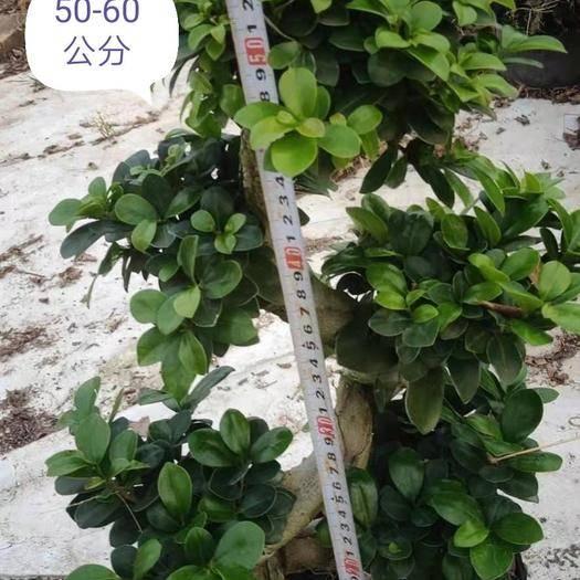 漳州龙海市 福建榕树,嫁接小叶榕树,造型两弯半,各种规格齐全