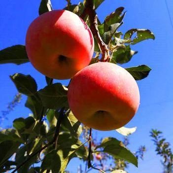 烟富10号苹果树苗M9T337矮化砧木短枝红富士苹果苗新品种