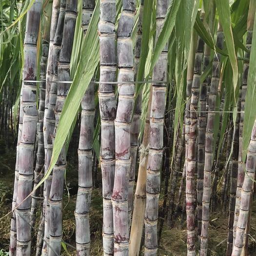 玉林 廣西甘蔗隆重上市,品質至上!
