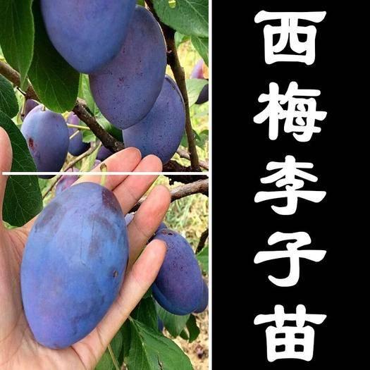 临沂平邑县西梅苗 西梅女神李 产量高 根系好 成活率高 包结果