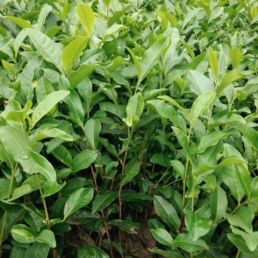 雅安绿茶树苗 基地直供苗量大,价优