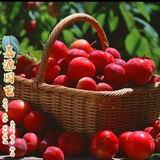 成都锦江区 钙果种子欧李种子补钙首选