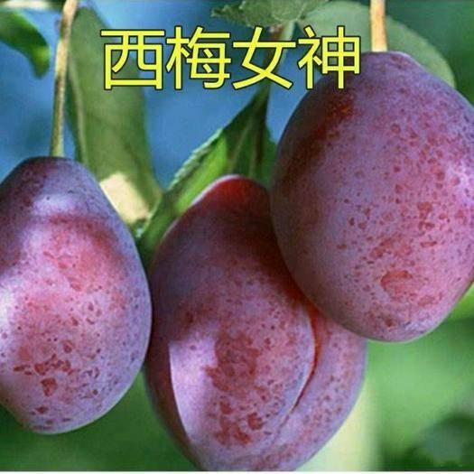 临沂平邑县西梅苗 西梅女神苗 产量高  根系发达 成活率高  基地现挖发货