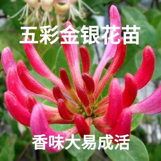 临沂平邑县红色五彩金银花 适合盆栽地栽 香味大 易成活 现挖现发 包成活 包品种