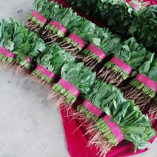安阳滑县 大叶油亮型黑色菠菜